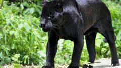 Black Panther 20066