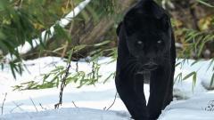 Black Panther 20068