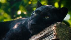 Black Panther Wallpaper HD 20075