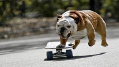 Bulldog 22981