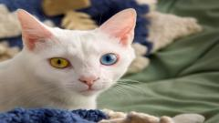Colorful Eyed Cats Wallpaper 10824