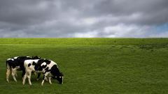 Cow Wallpaper 20056
