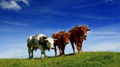 Cow Wallpaper 20059