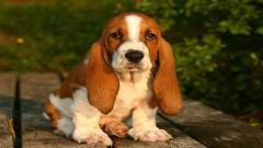 Cute Basset Hound 22782