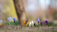 Cute Crocuses 28946