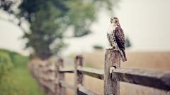 Cute Falcon 23426