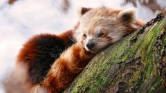 Cute Red Panda Wallpaper 27519