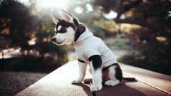 Cute Siberian Husky 20784