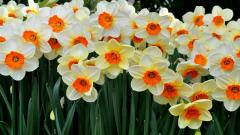 Daffodils Computer Wallpaper HD 20826