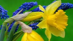 Daffodils Up Close Wallpaper 20830