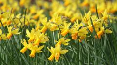 Daffodils Desktop Wallpaper HD 20832