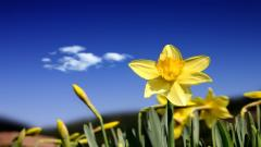 Daffodils Wallpaper 20824