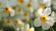 Daffodils Wallpaper 20825