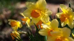 Daffodils Wallpaper 20831