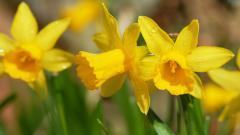 Daffodils Wallpaper 20833