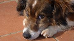 Dog Close Up Background 39585
