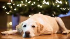 Dog Holiday Mood Wallpaper 43341