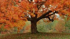 Fall Tree 29497