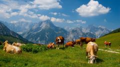 Fantastic Cattle Wallpaper 39604