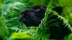 Free Black Panther Wallpaper 20064