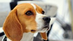 Free Dog Close Up Wallpaper 39588