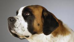 Free Saint Bernards Wallpaper 19591