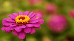 Free Zinnia Wallpaper 20153