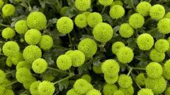 Green Flower 17354