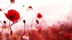 HD Poppy Wallpaper 24009