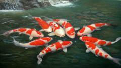 Koi Fish 7917