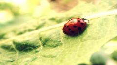 Ladybird Wallpaper 44223