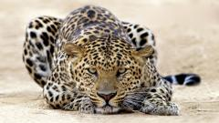 Leopard Wallpaper 4072