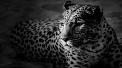 Leopard Wallpaper 4073