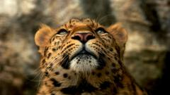 Leopard Wallpaper 4074
