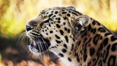 Leopard Wallpaper 4075