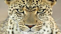 Leopard Wallpaper 4076