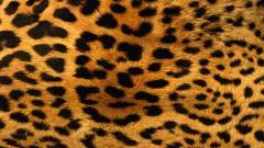 Leopard Wallpaper 4077