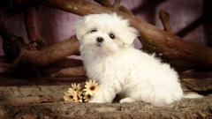 Little Dogs 9200