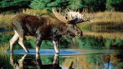Moose Wallpaper 18195