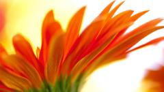 Orange Flower Backgrounds 18209