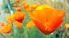 Orange Poppy Wallpaper 24013