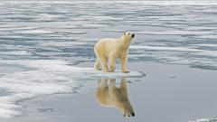 Polar Bear HD Wallpaper 13011