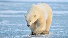 Polar Bear 13012