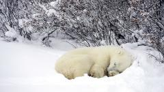 Polar Bear Sleeping Wallpaper 13013