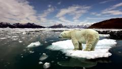 Polar Bear 13015