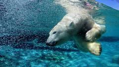 Polar Bear 13022