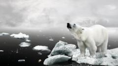 Polar Bear Wallpaper 13008