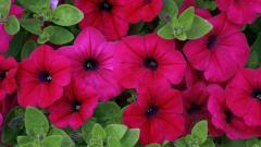 Poppies Wallpaper 24007