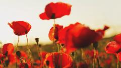 Poppies Wallpaper 24011