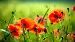 Poppies Wallpaper 24015